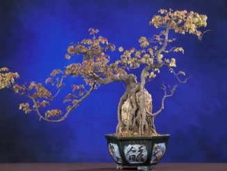 bonsai anfaenger