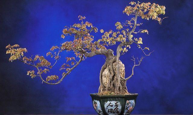bonsai anfaenger