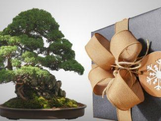 bonsai geschenk