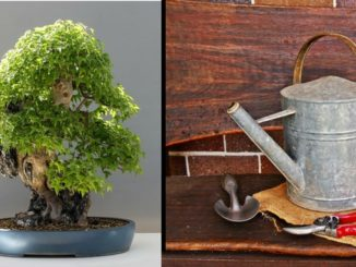 bonsai giessen