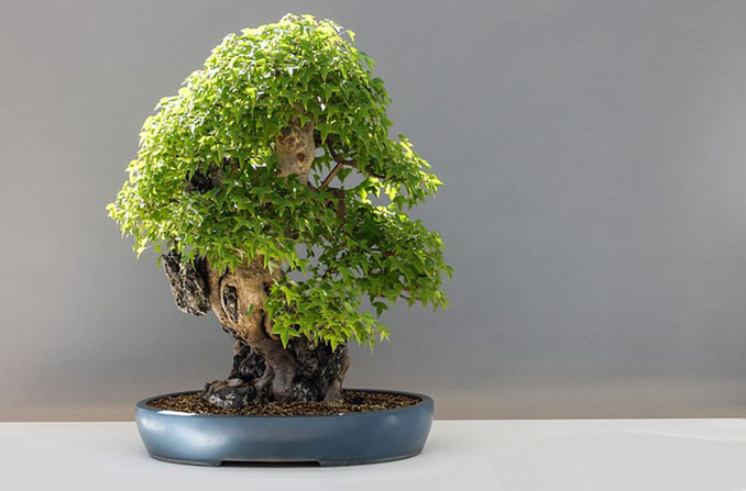 indoor bonsai zimmerbonsai