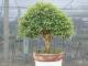 kalthaus bonsai info und pflegehinweise