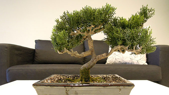 bonsai baum die bonsai webseite mit allen infos. Black Bedroom Furniture Sets. Home Design Ideas