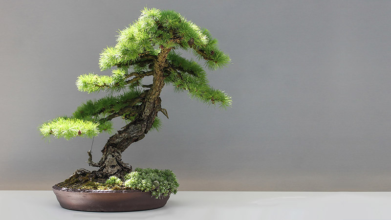 zimmerbonsai indoor bonsai